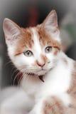 för shorthairwhite för katt rött barn Royaltyfri Foto