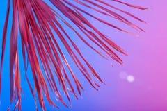 För sidabakgrund för den tropiska filialen gömma i handflatan torrt rosa blått purpurfärgat rött abstrakt begrepp för korall skug arkivfoto