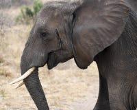 För sideviewcloseup för elefant stående huvud Royaltyfri Bild