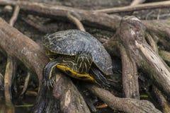 För sidohals för amason gul prickig sköldpadda Royaltyfri Bild