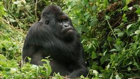 För silver gorilla tillbaka med grön bakgrund fotografering för bildbyråer