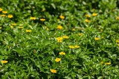För Singapore för Closeup liten blomma tusensköna Fotografering för Bildbyråer