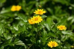 För Singapore för Closeup liten blomma tusensköna Arkivfoton
