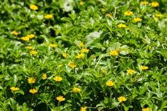 För Singapore för Closeup liten blomma tusensköna Arkivbild