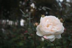 För skönheten av rosen bevattnar vi också taggarna Arkivbild