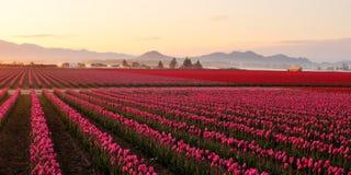 för skagitsoluppgång för fält dimmig dal för tulpan Fotografering för Bildbyråer