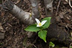 För skoggolv för Trillium vit blomma Arkivfoto