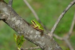 för skoggroda för arborea gemensam europeisk tree för hyla Fotografering för Bildbyråer