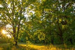 För skogsolljus för gammal ek magisk solnedgång för soluppgång Arkivfoton