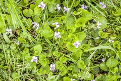 För skogvår för Violet första blommor Arkivbild