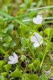 För skogvår för vit första blommor Fotografering för Bildbyråer