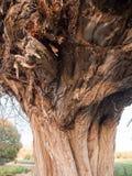 För slut brunttextur upp av detaljen för ek för trädskäll Arkivfoto