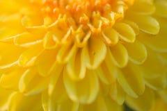 för slut för gulingblomma upp bakgrund för abstrakt begrepp Royaltyfri Fotografi
