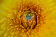 för slut för gulingblomma upp bakgrund för abstrakt begrepp Royaltyfri Bild