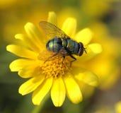 För slut gräsplanfluga upp på den gula blomman Arkivfoton