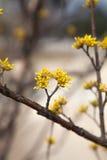 För slut gulingblommor upp av cornusmas-busken, korean summ Arkivfoton