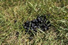 För slut för svartfärg upp avföring för get på en jordning för grönt gräs Naturlig gödningsmedel gödsel Jordbruk Geten sket arkivfoto