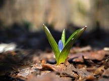 För snödroppe blåttblomma först på den stängda solen Royaltyfria Foton