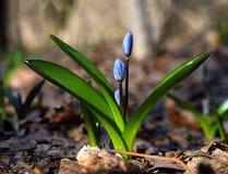 För snödroppe ljus blomma först på solen Royaltyfri Foto