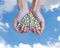 För sockerärta för handfull rikt frö (hjärtaform) royaltyfria bilder