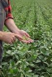För sojabönaböna för bonde undersökande skörd i fält arkivbilder