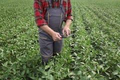 För sojabönaböna för bonde undersökande skörd i fält genom att använda minnestavlan royaltyfri fotografi