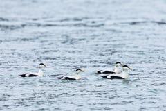 För somateriamollissima för fyra manlig ejdrar simning Royaltyfri Bild