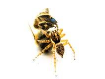 För spindel bi kontra Arkivfoton
