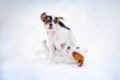 För stålarrussel för två valp leka terrier Royaltyfri Bild