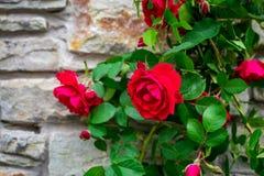 För stenvägg för härlig rosa buske gammal bakgrund med kopieringsutrymme royaltyfria foton