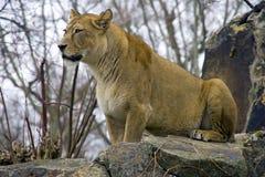 För stolthetsavann för lejoninna rovdjurs- Afrika panter Arkivbild