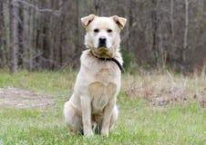 För stora Pyrenees för golden retriever hund för blandning käk arkivbild