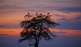 för storkssolnedgång för ciconia perching tree Arkivfoto