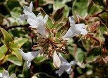 För `-strålglans för Abelia x grandiflora `, Fotografering för Bildbyråer