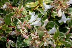 För `-strålglans för Abelia x grandiflora `, Royaltyfri Foto