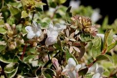 För `-strålglans för Abelia x grandiflora `, Royaltyfri Fotografi