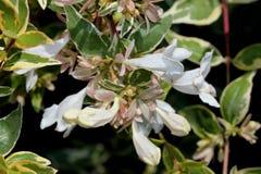 För `-strålglans för Abelia x grandiflora `, Arkivbild