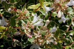 För `-strålglans för Abelia x grandiflora `, Royaltyfria Bilder