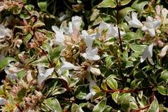 För `-strålglans för Abelia x grandiflora `, Arkivfoton