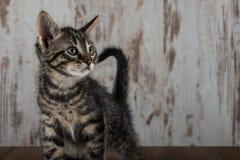 För strimmig kattkattunge för få veckor gammal hankatt på vit träbakgrund Arkivbild