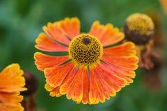 För Susan Summer för makrobild svart synad Rudbeckia Hirta blomma Royaltyfria Bilder