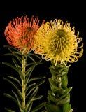 för svarta röd yellow pincushionproteas för backgro Royaltyfri Fotografi