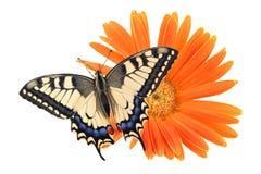 För Swallowtail Papilio för den gamla världen fjärilen machaon sätta sig på all en orange blomma på en vit bakgrund arkivfoton