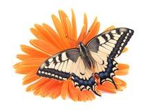 För Swallowtail Papilio för den gamla världen fjärilen machaon sätta sig på all en orange blomma på en vit bakgrund arkivfoto