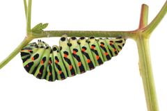 För Swallowtail Papilio för gammal värld fjäril machaon, larv arkivfoton