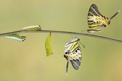 För swordtailfjäril för fem stång cirkulering för liv (antiphatespompiliusen) royaltyfria foton