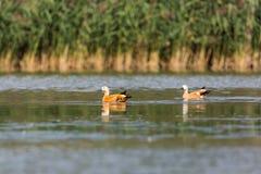 För tadornaferruginea för två rödlätt shelducks simning, vatten, vass Arkivfoton
