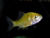 för teckningsfisk för akvarium svart linje white Fotografering för Bildbyråer