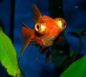 för teckningsfisk för akvarium svart linje white Arkivfoto