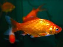 för teckningsfisk för akvarium svart linje white Arkivbild